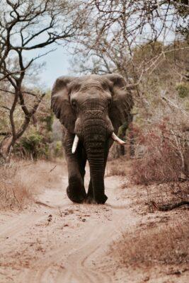 safari olifant